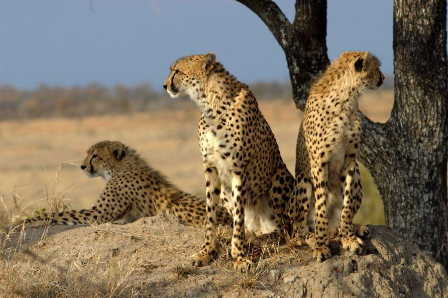 leopard wild.jpg